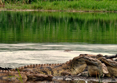 African Parks_Crocodiles in Akagera_Credit Kenny Babilon