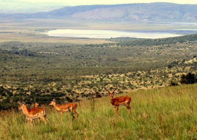 African Parks_Impala in Akagera_Credit Kenny Babilon