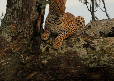 African Parks_Leopard in Akagera_Credit Kenny Babilon