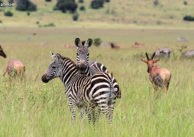 African Parks_Zebra and Hartebeest in Akagera_Credit Kenny Babilon